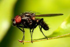 mosca pequena