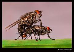 Moschito e moschita!