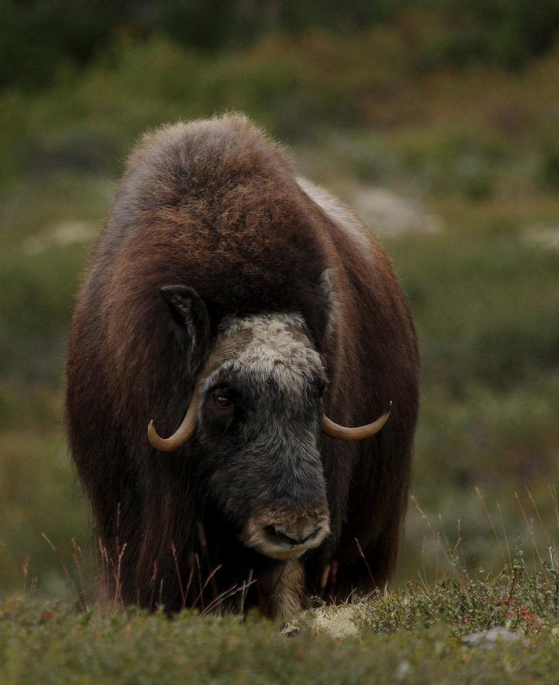 Moschusochse im Dovrefjell Nationalpark