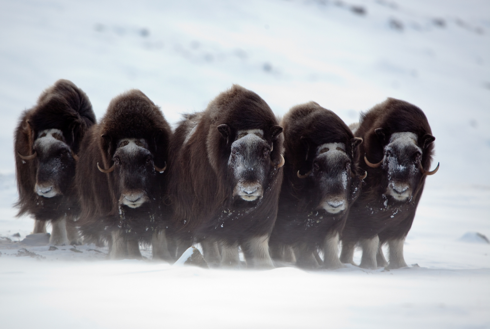 Moschusochsen Foto & Bild | tiere, wildlife, säugetiere Bilder auf  fotocommunity
