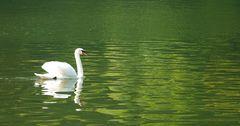 mosselschwan