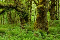 Mossy Maple Grove IV