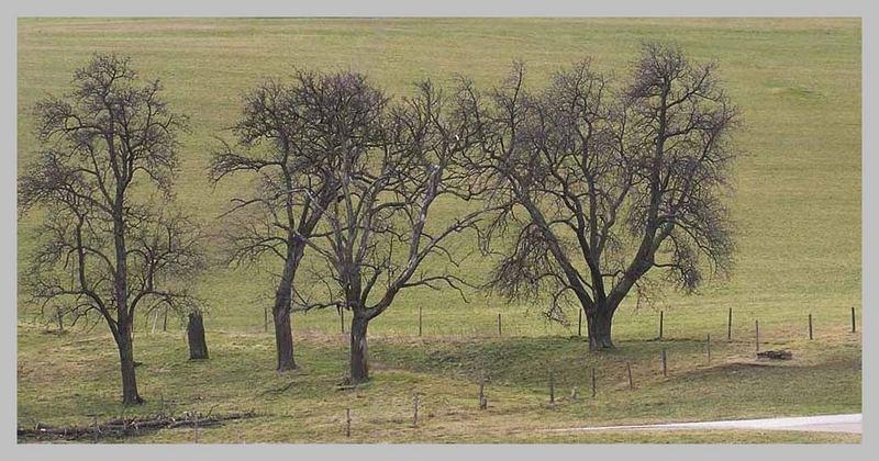 mostobstbäume