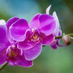 Moth Orchid (Phalaenopsis amabilis)