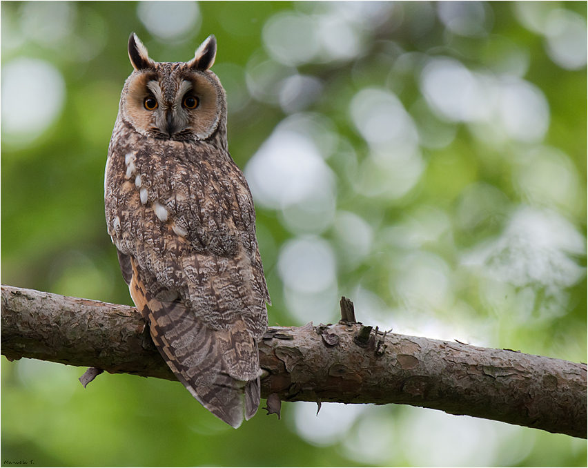 Mother Long-eared owl