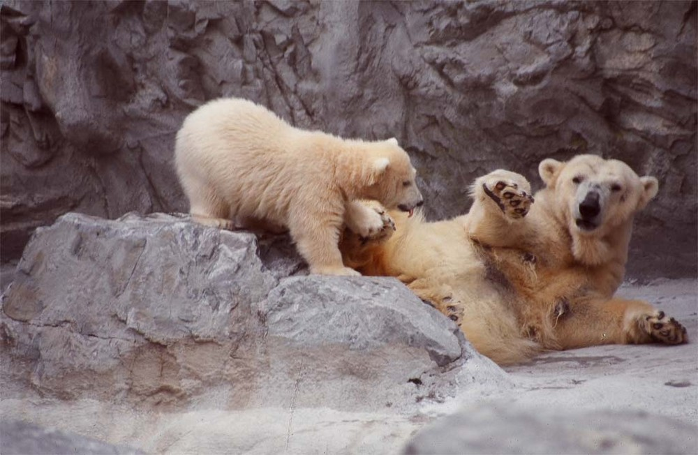 Mother Polar Bear and Baby