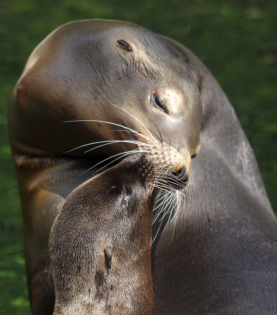 mother sea lion withe young
