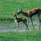 Mother Thompson's Gazelle Teaching Her Youngster to Survive