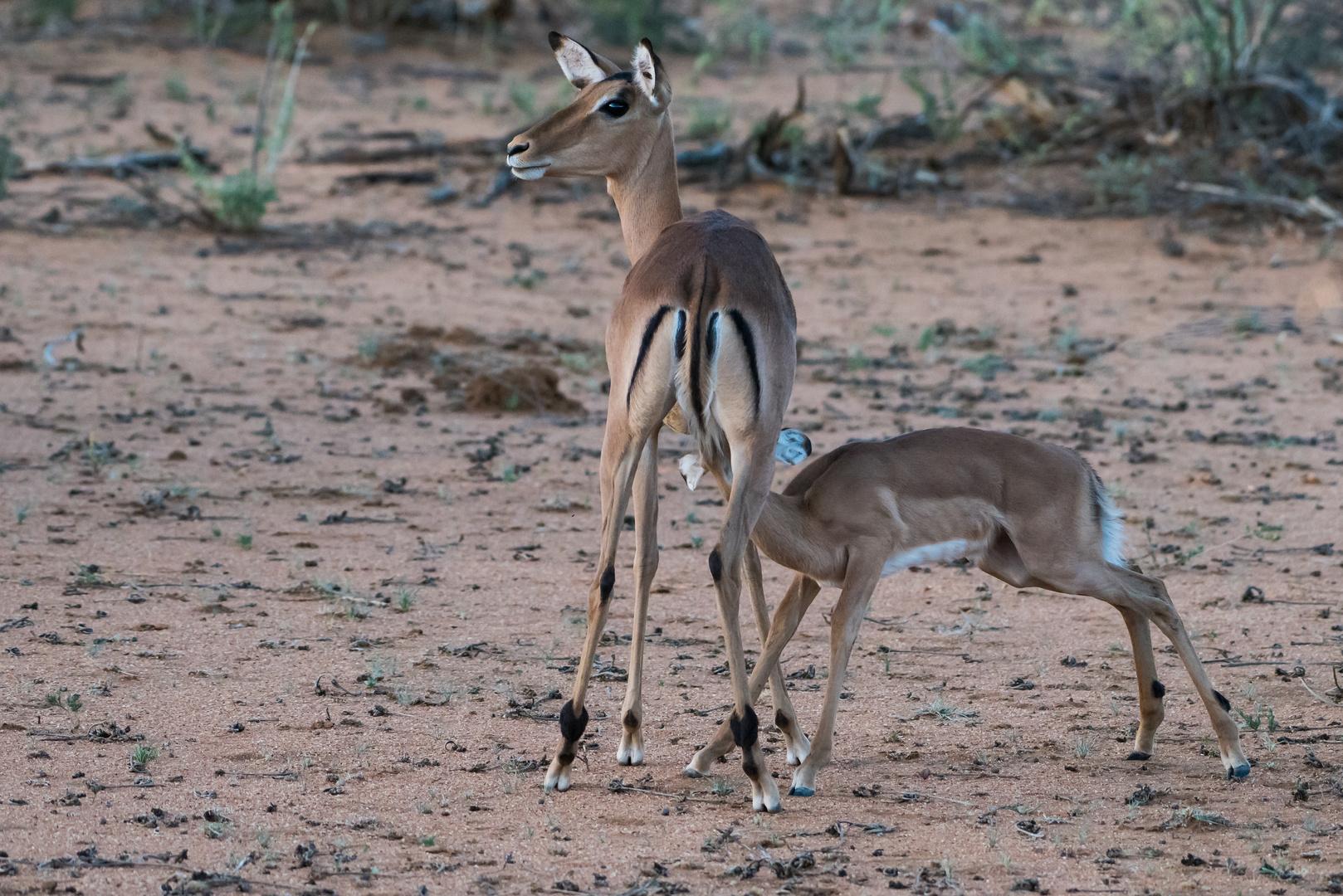 Motherly Love - Impala