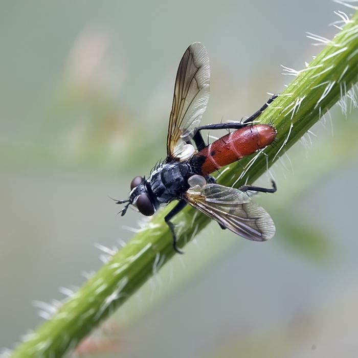 Mouche Cylindromyia