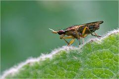 Mouche, Elgiva cucularia (2)