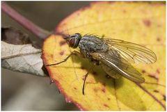 Mouche : Muscidae