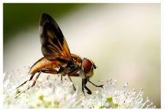 Mouche : Phasie crassipenne (Ectophasia crassipennis)