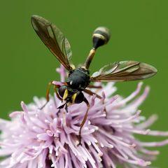Mouche Physocephala sp.