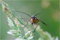 Mouche scorpion (Panorpa communis)