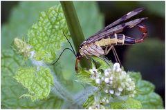 Mouche Scorpion_2 (Panorpa communis)