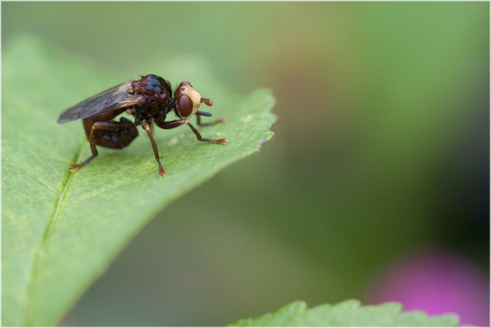 Mouche Sicus ferrugineus