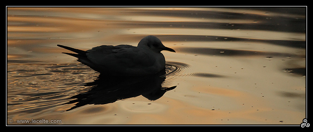 Mouette d'or