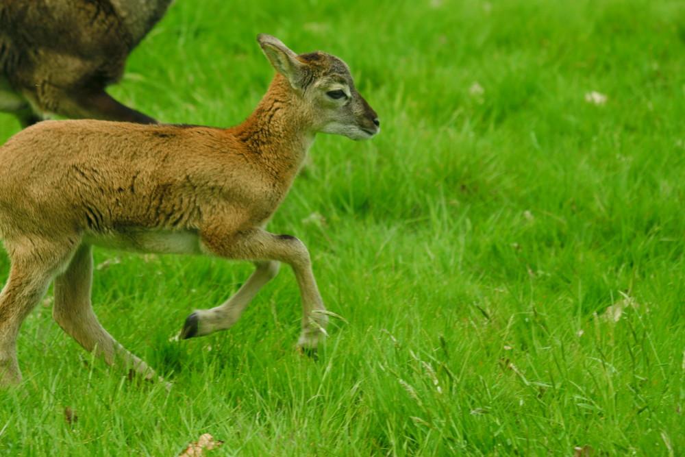 mouflon de corse de 11 jours
