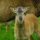 mouflon de corse de 12 jour
