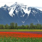 """Mount """"Cheam"""" and the Tulips"""