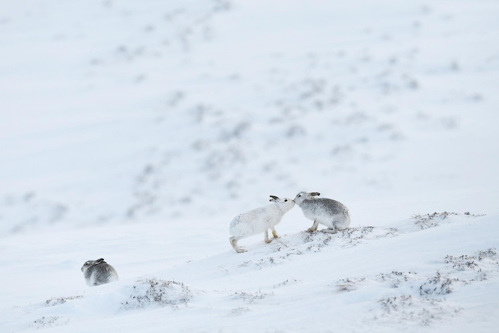 Mountain Hare kiss