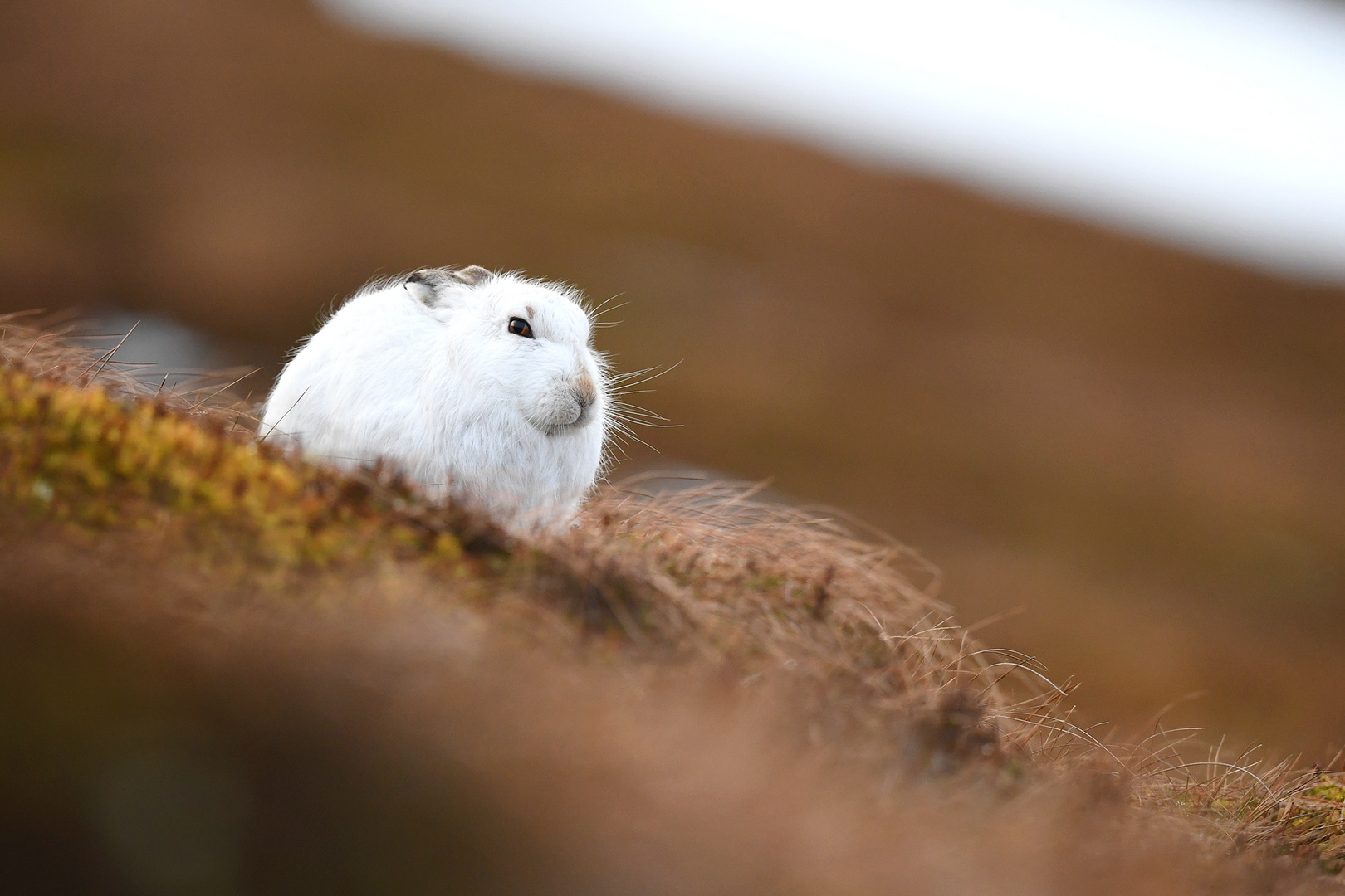 Mountain Hare (Schneehase)