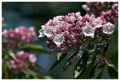 Mountain Laurel ....