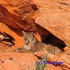 Mountain Lion Resting