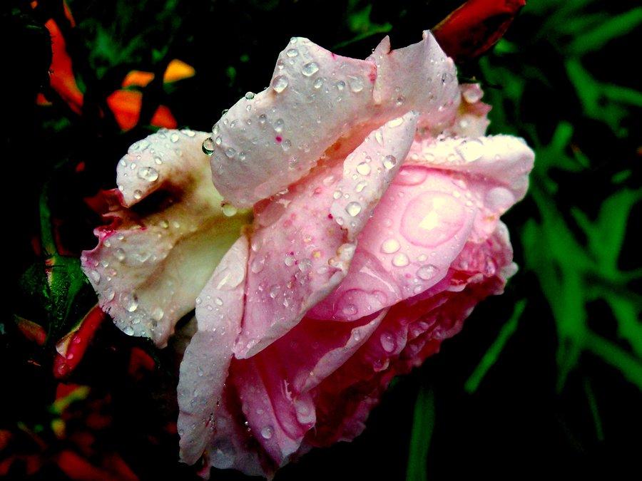 Mourning Rose
