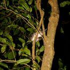 Mouse Opossum