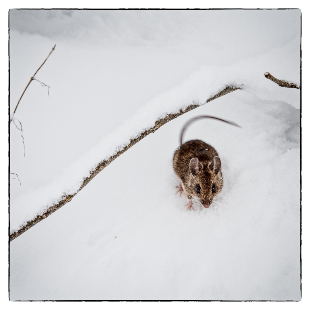 Mouse Wildlife