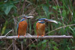 Mr. & Ms. Kingfisher
