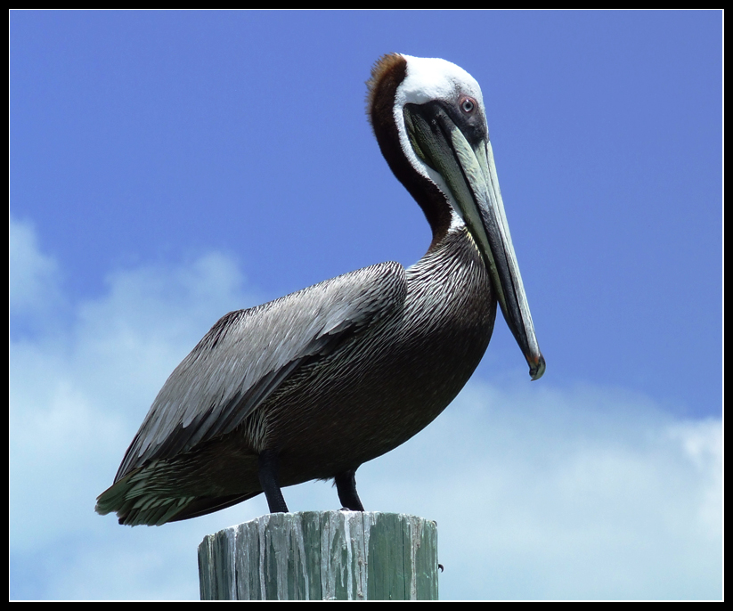 Mr. Pelikan