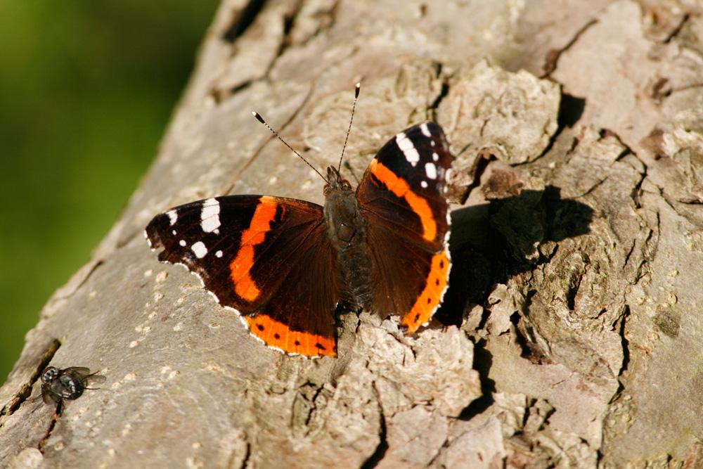 Mr. Schmetterling