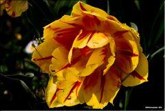 Mr tulipan 2