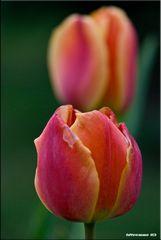 Mr tulipan 3