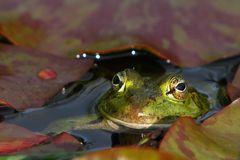Mrs. Frog (oder wiviel Landschaft in das Auge eines Frosches passt!)
