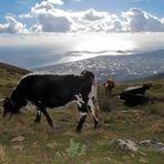 Mucche al mare