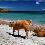 Mucche balneari