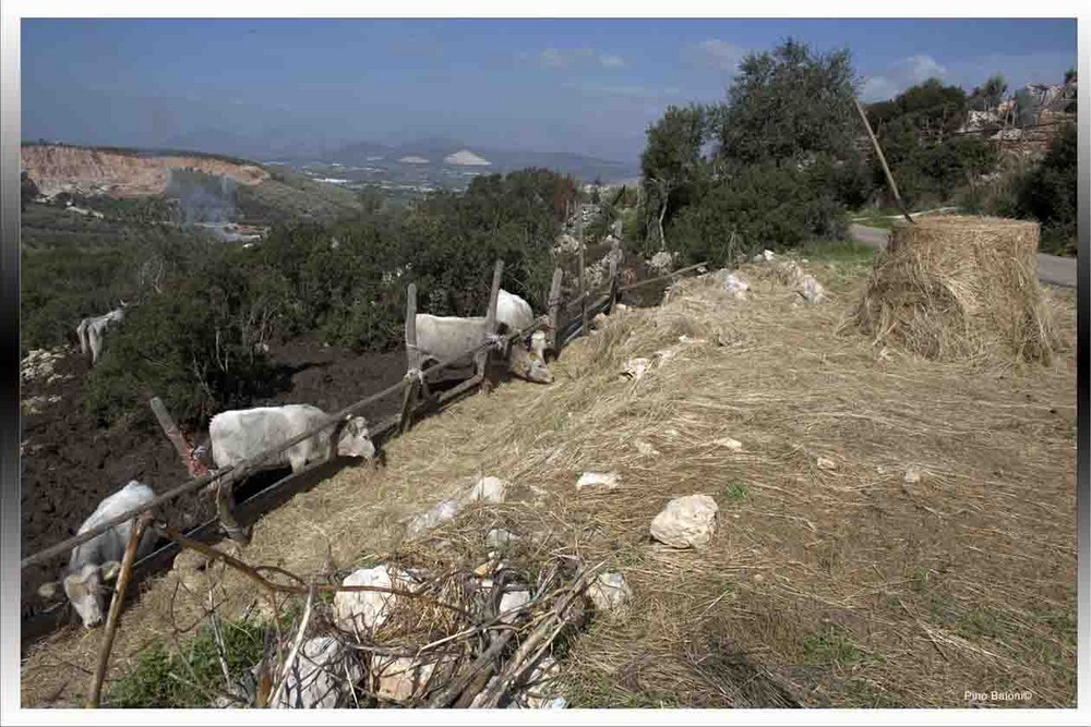 mucche e torelli all'ingrasso