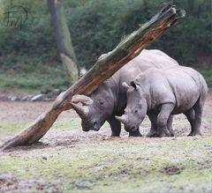 Muckibude für Rhinos