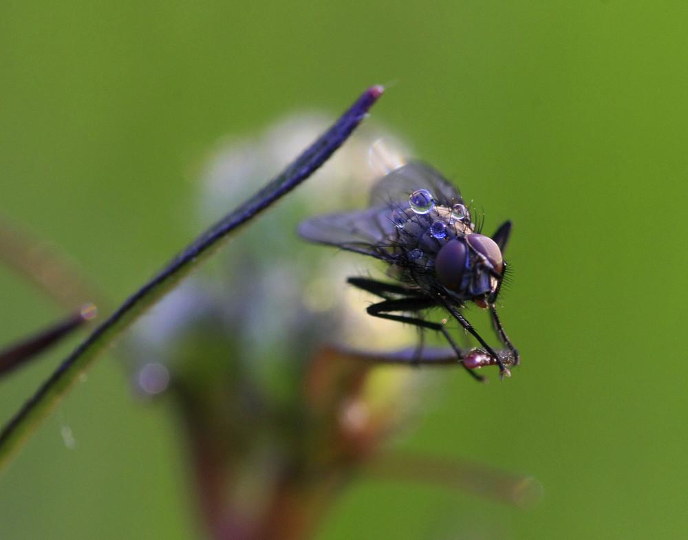 Mücken Tau