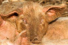 müde schweinerei