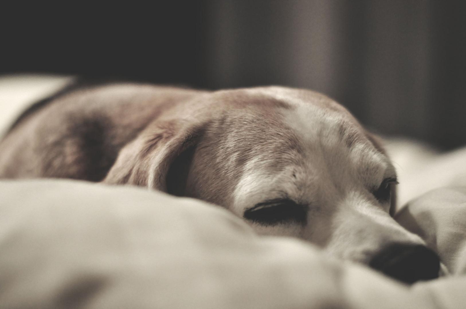 Müder Hund Im Bett Foto Bild Schlafen Hund Bett Bilder Auf