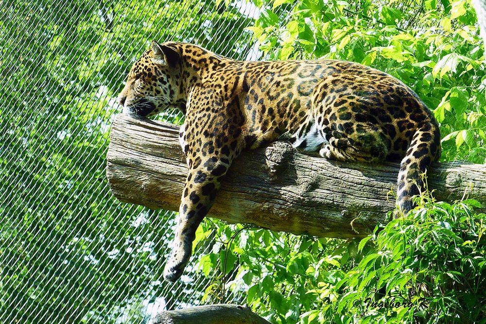 Müder Jaguar beim Mittagsschlaf - Zoo Krefeld