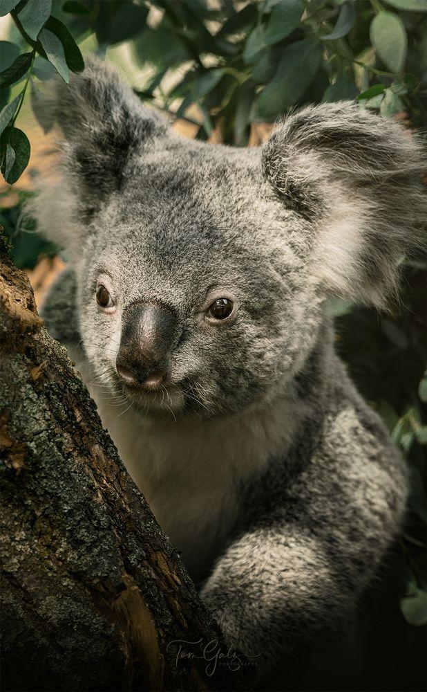 - müder Koala -