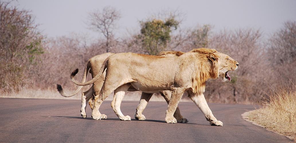 müder Löwe im Krüger Nationalpark
