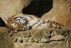 Müder Tiger ...