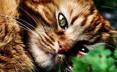Müder Tiger